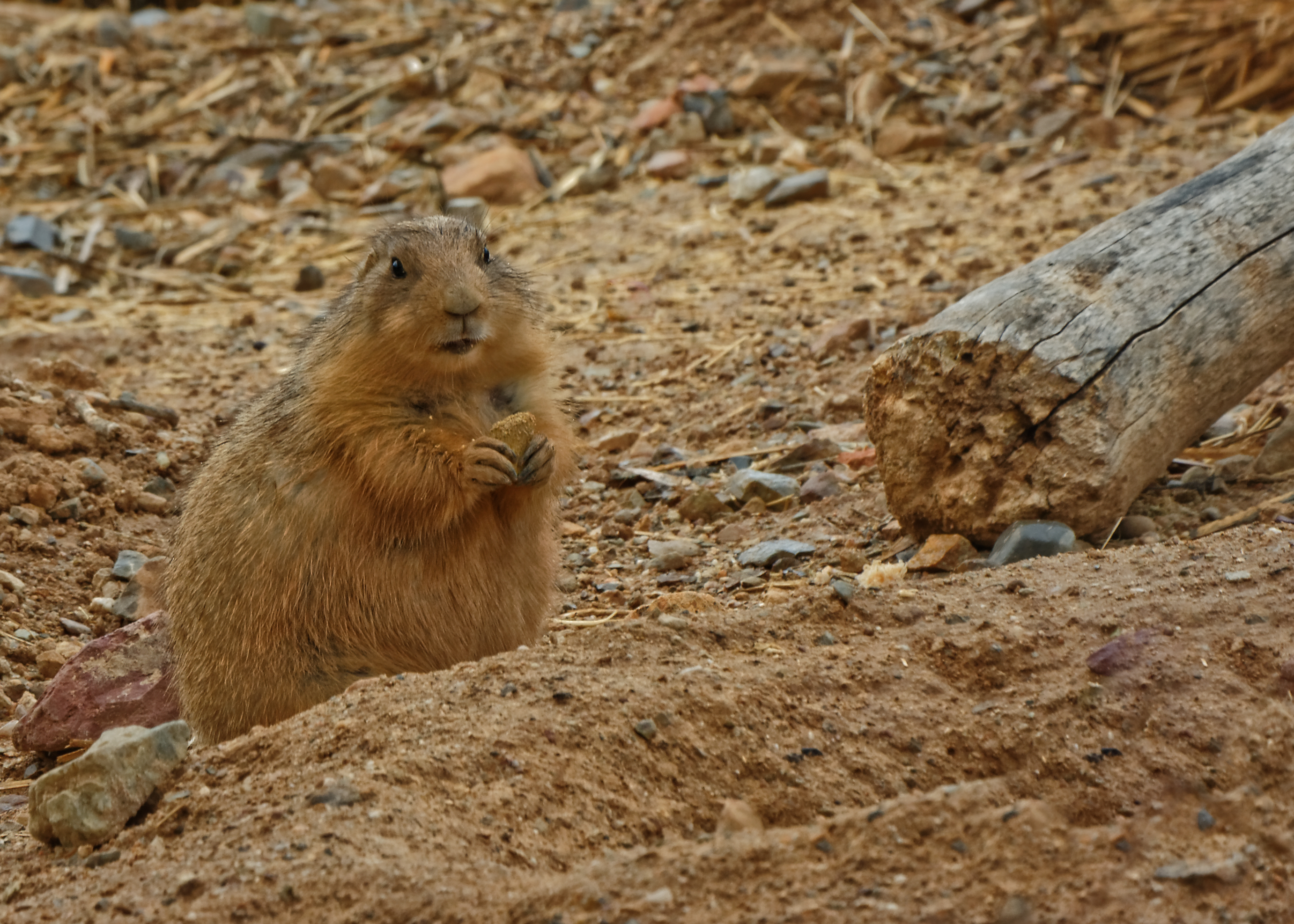 Prairie Dog having a bite to eat - 0955