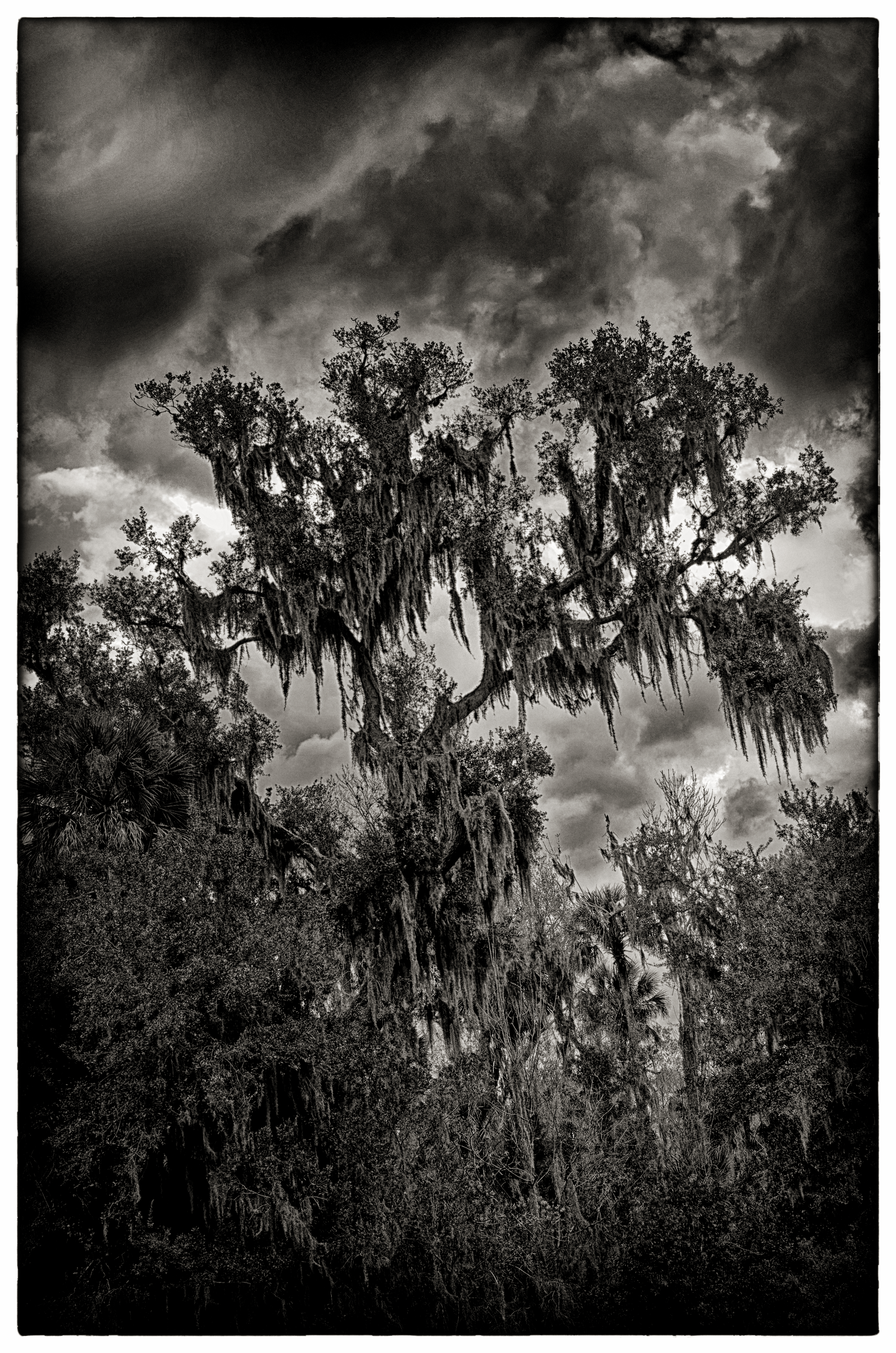 Storm Clouds and an Old Tree - 5522