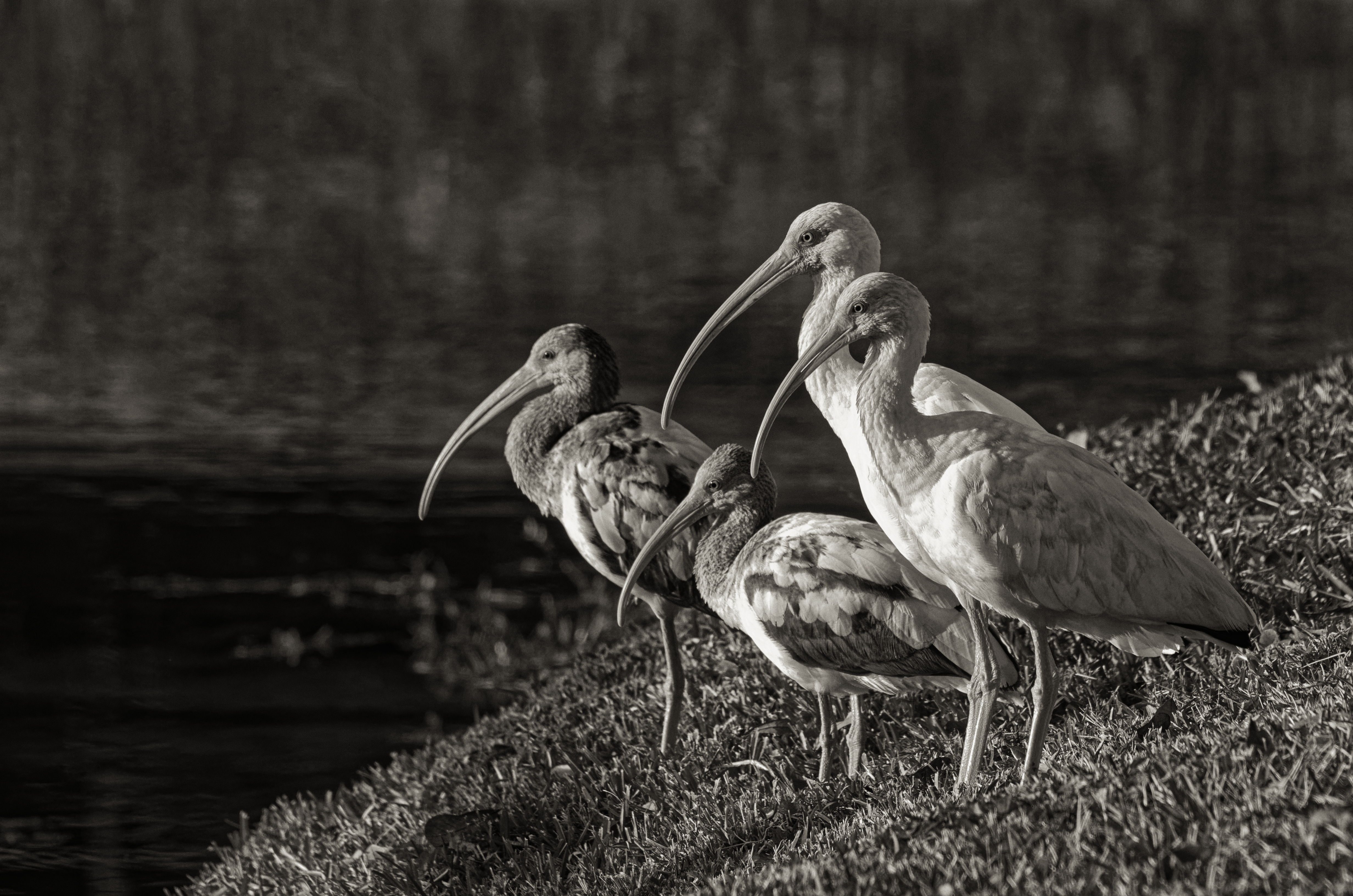 Family of Ibis Watching the Sunset - 5370-BW