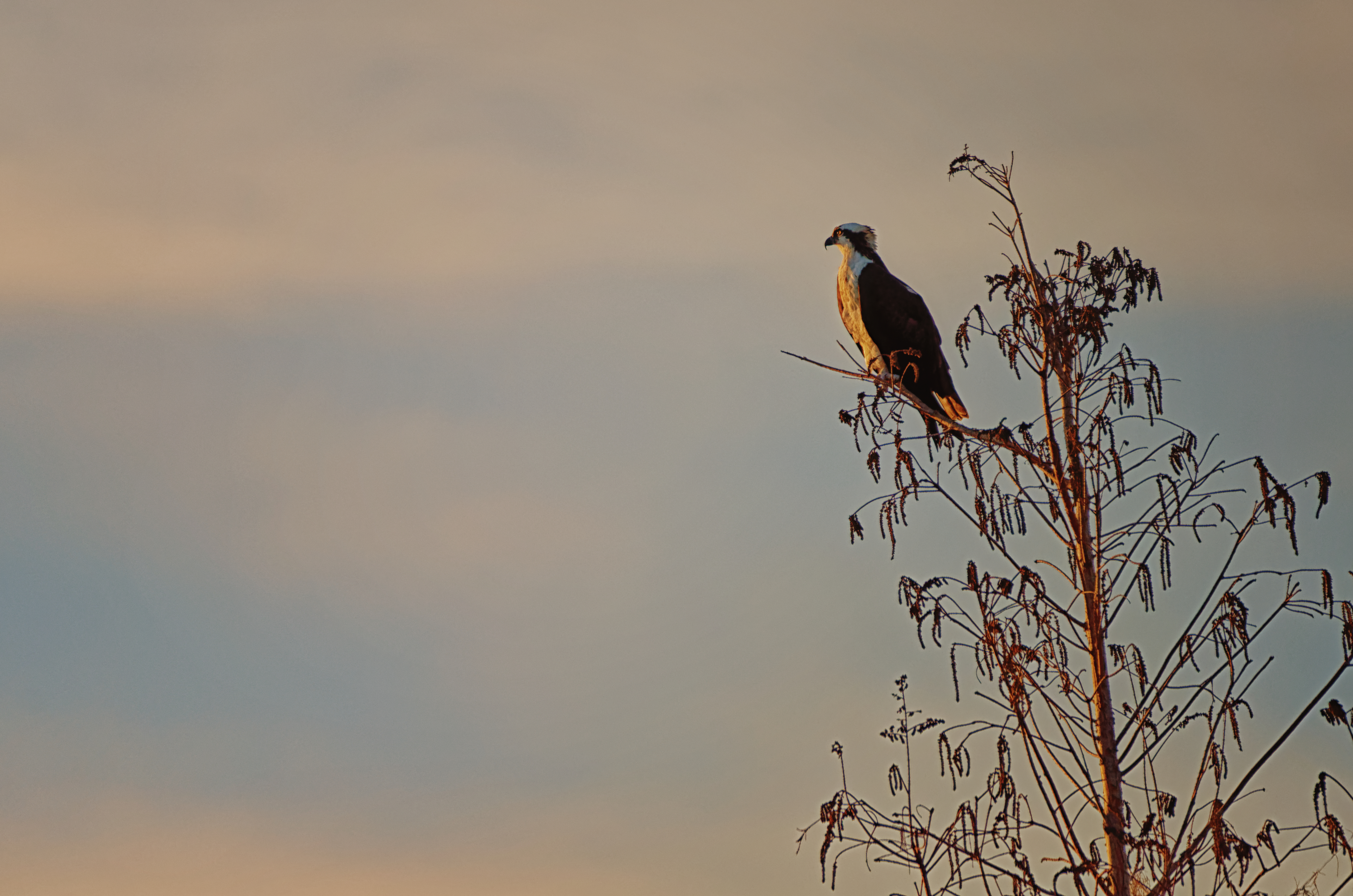 Osprey Watching Sunset - 5461