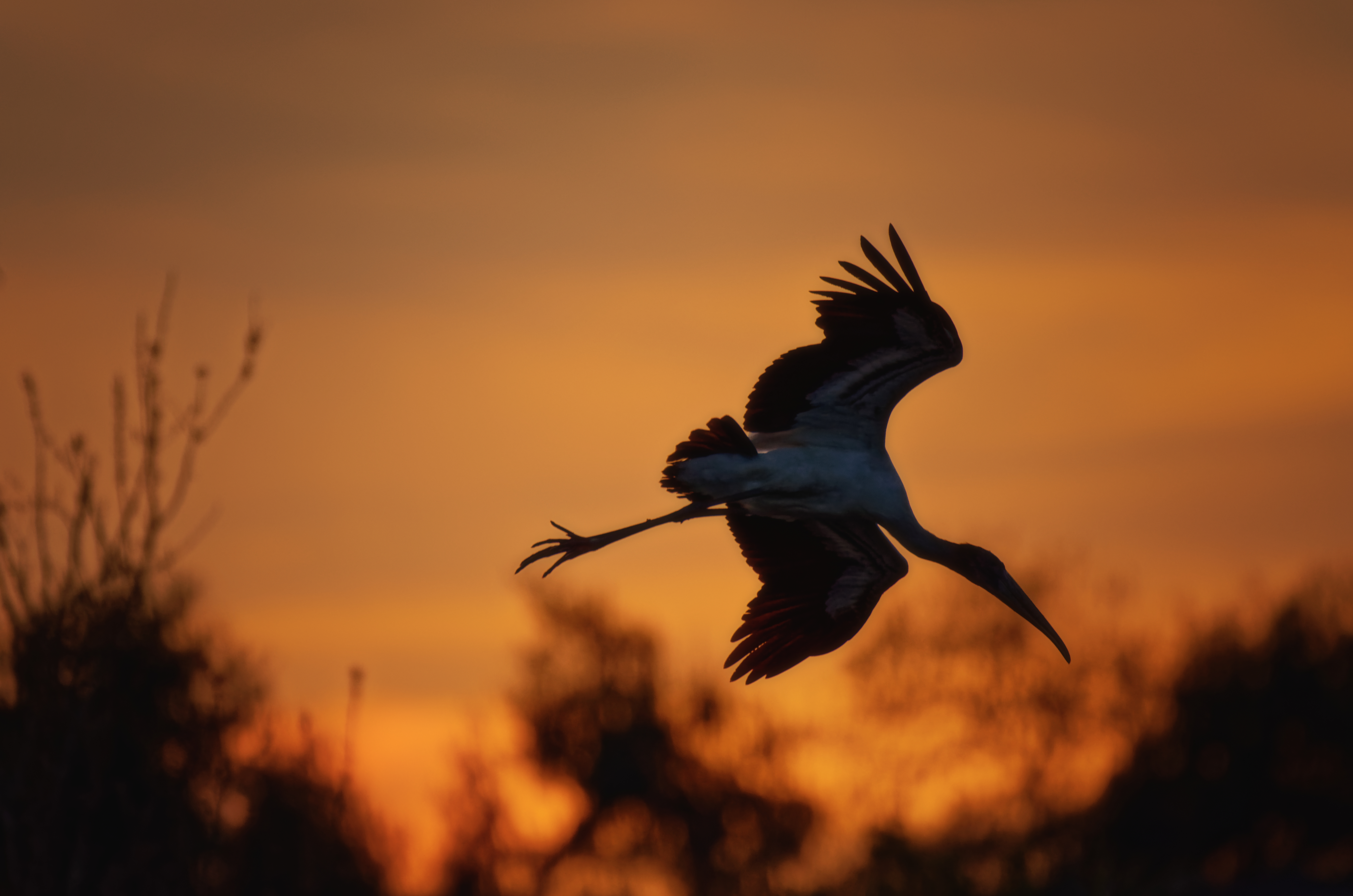 Wood Stork at Sunset - 5472