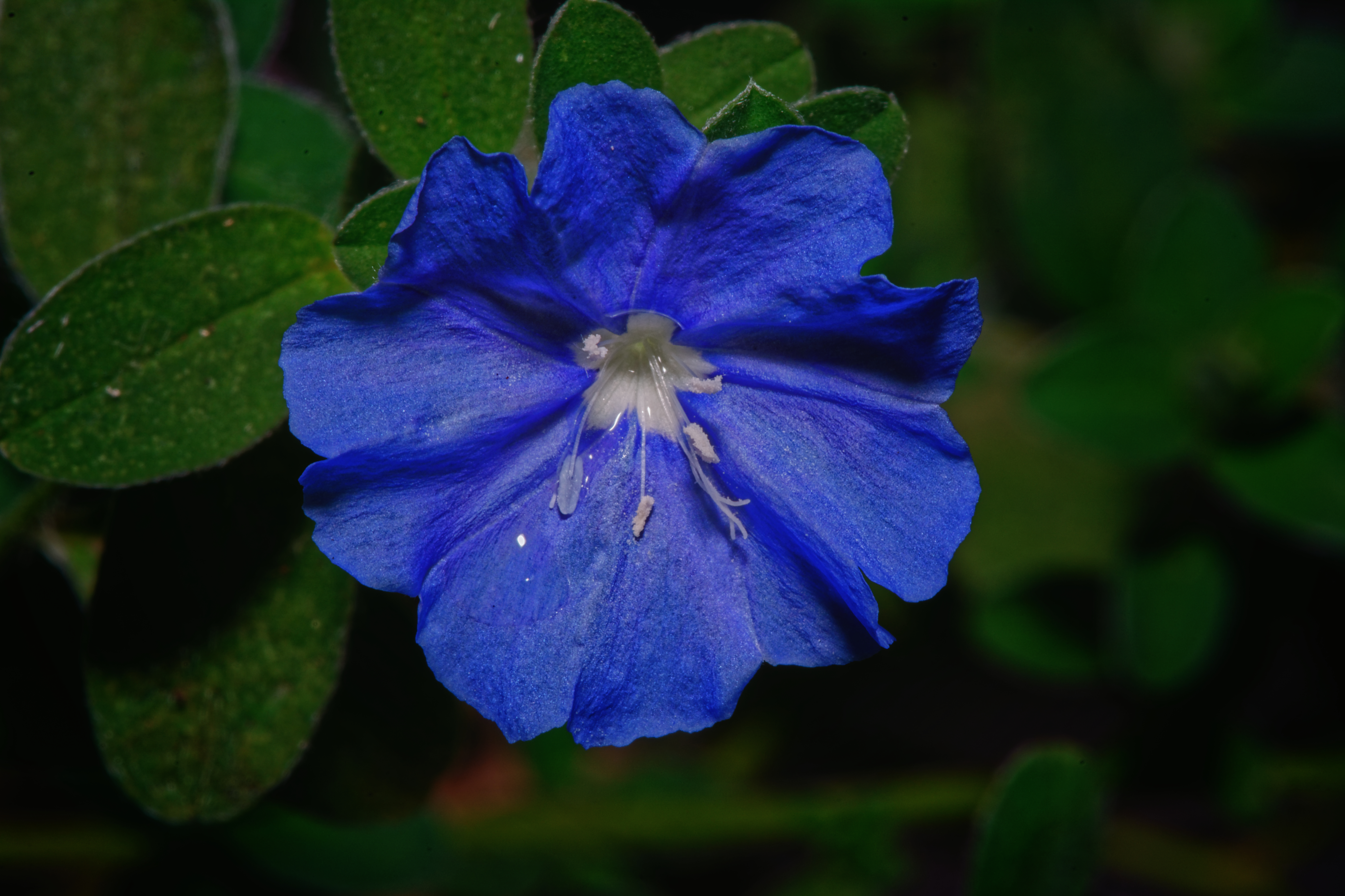 Small Blue Flower - 0233