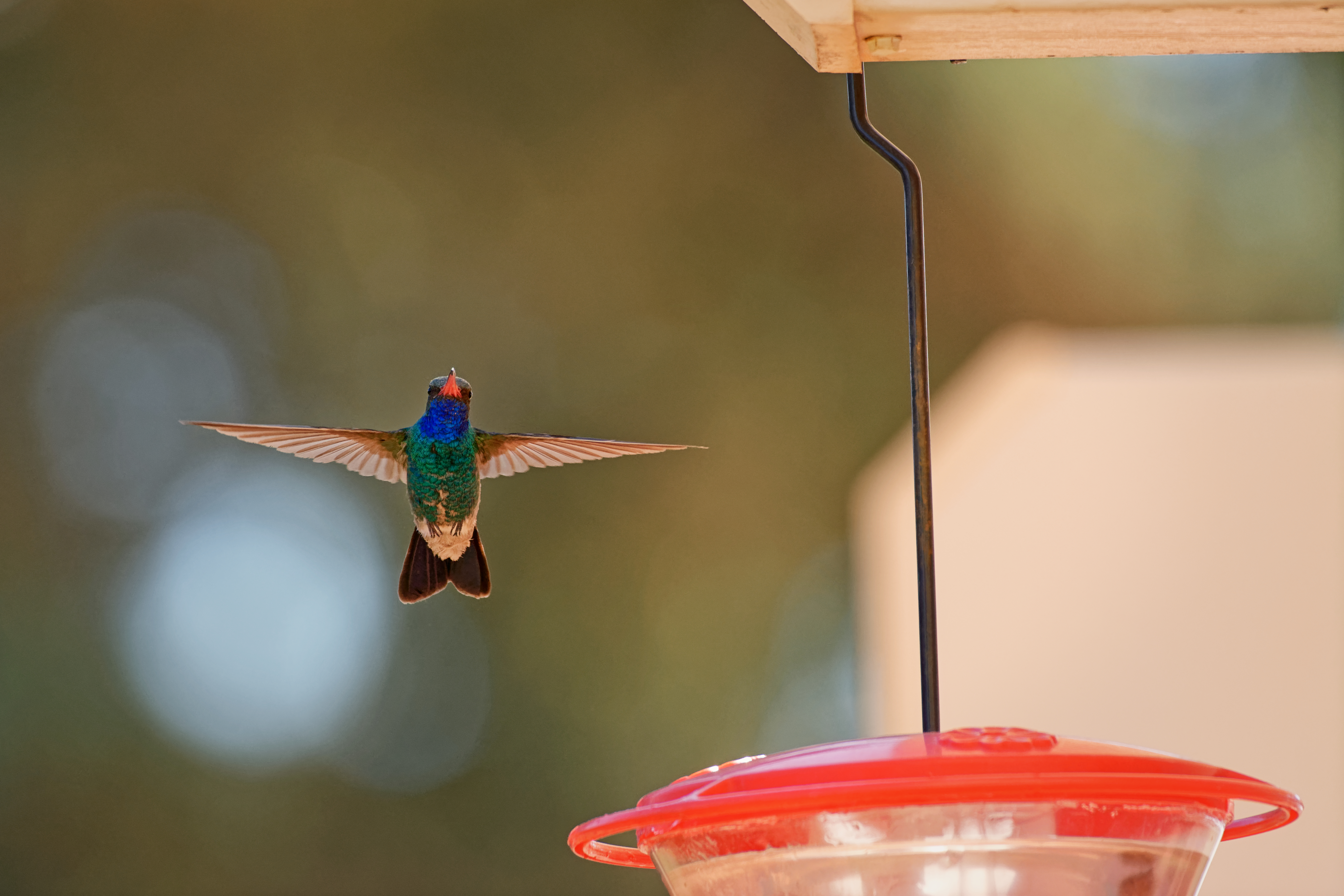 Broad-billed Hummingbird in flight - 8391