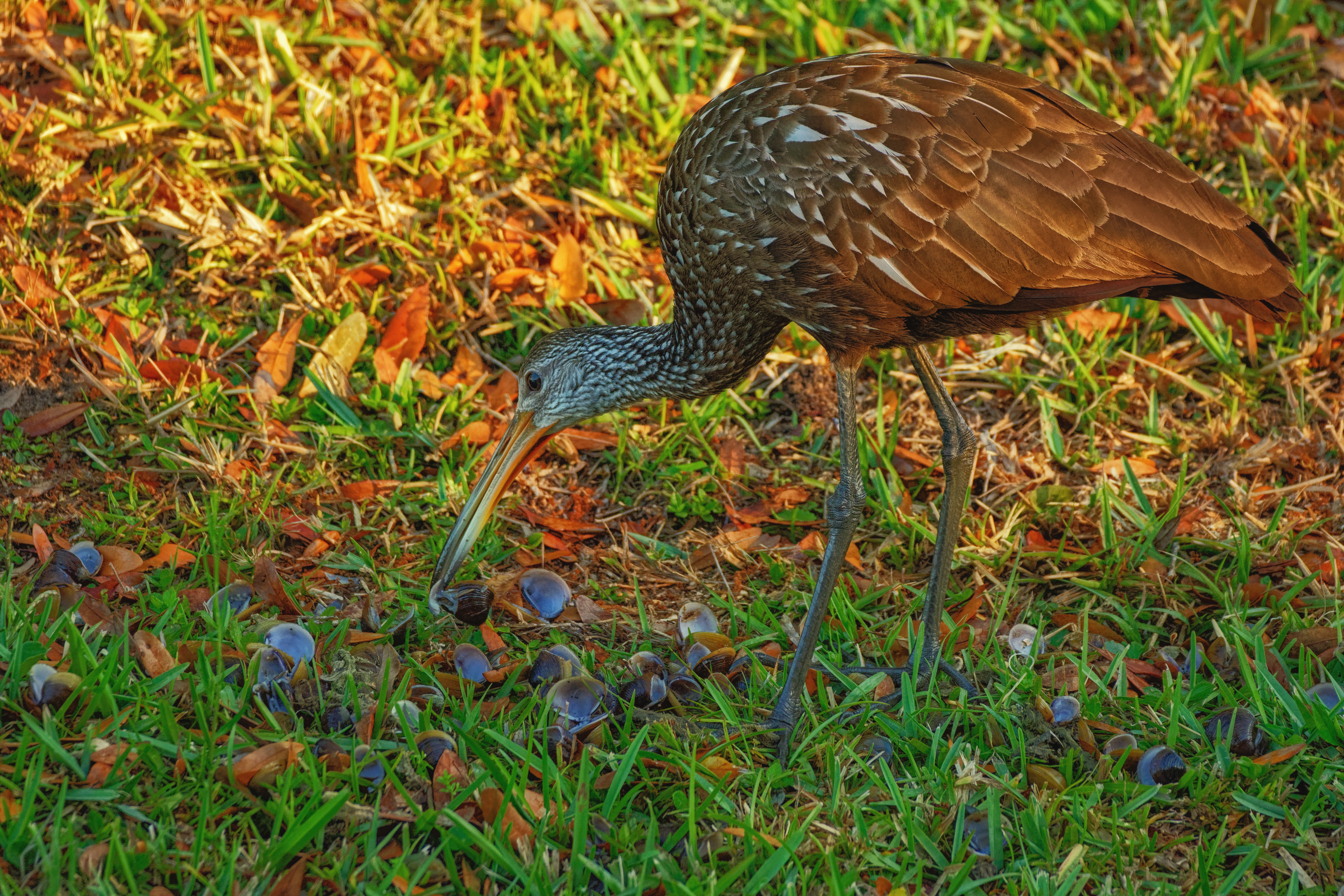 Limpkin Eats from Shells on the Bank - 1957