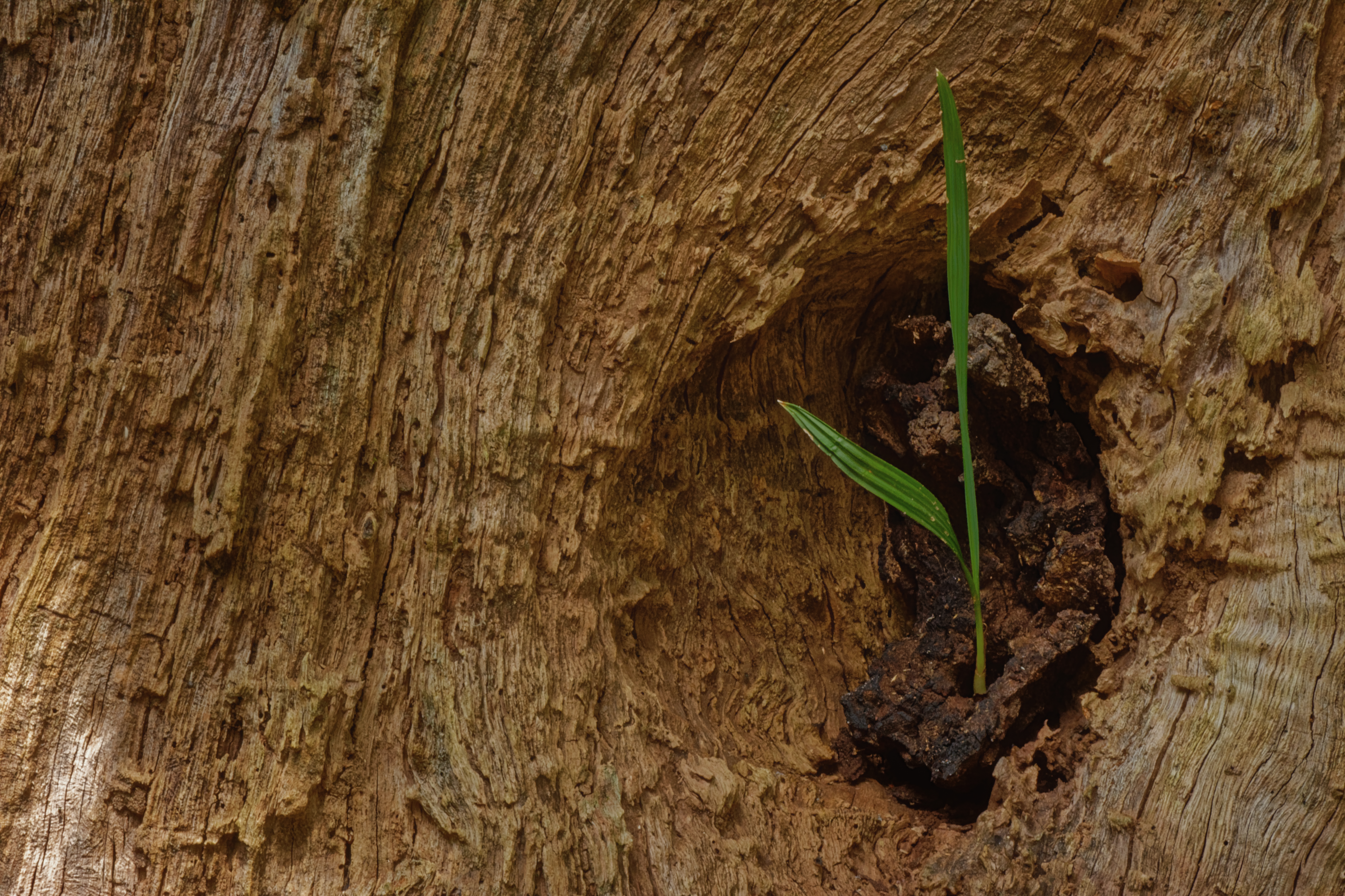 New growth in a tree stump - 0168