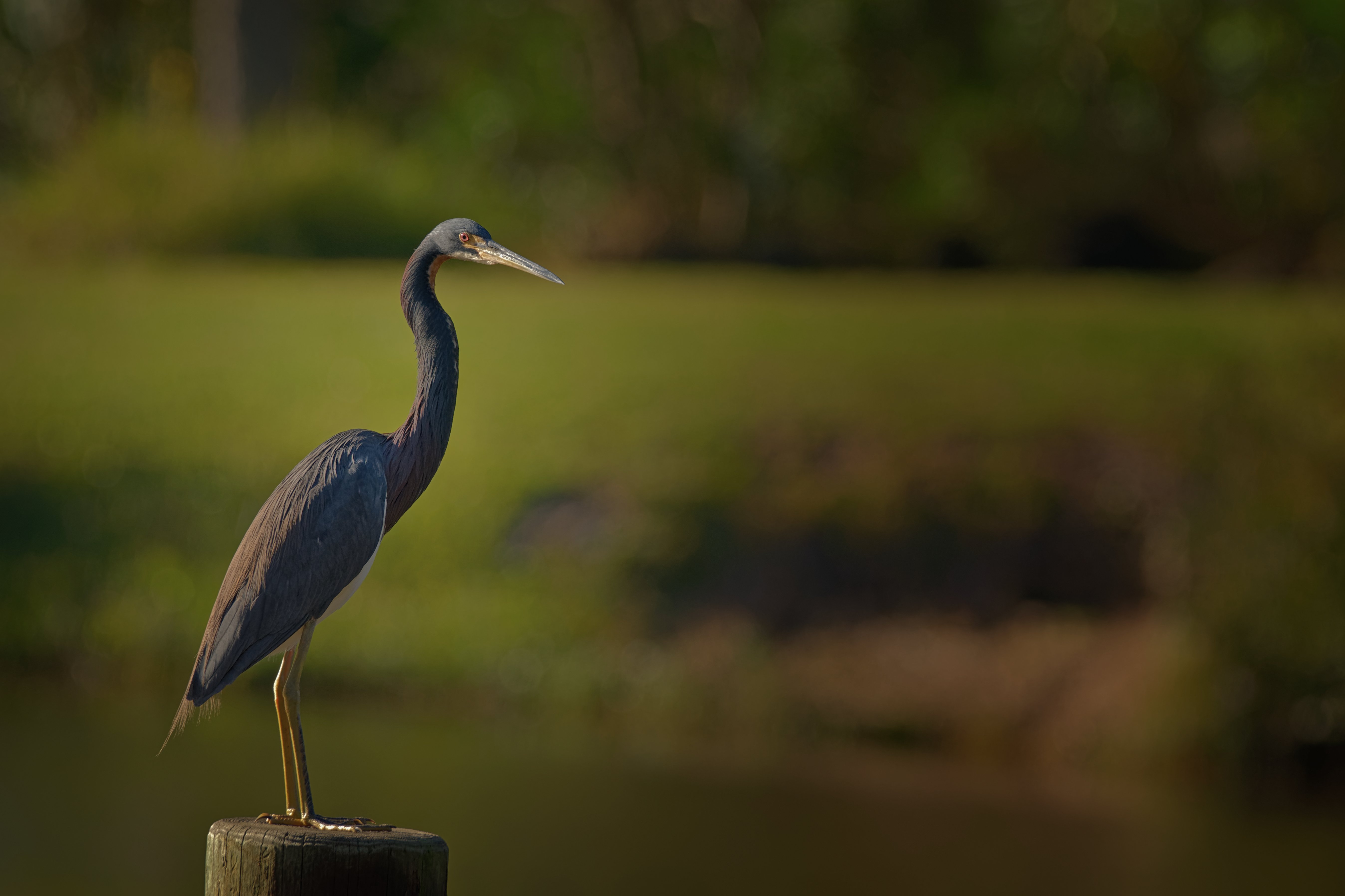 Tricolored Heron on a Dock - 0691