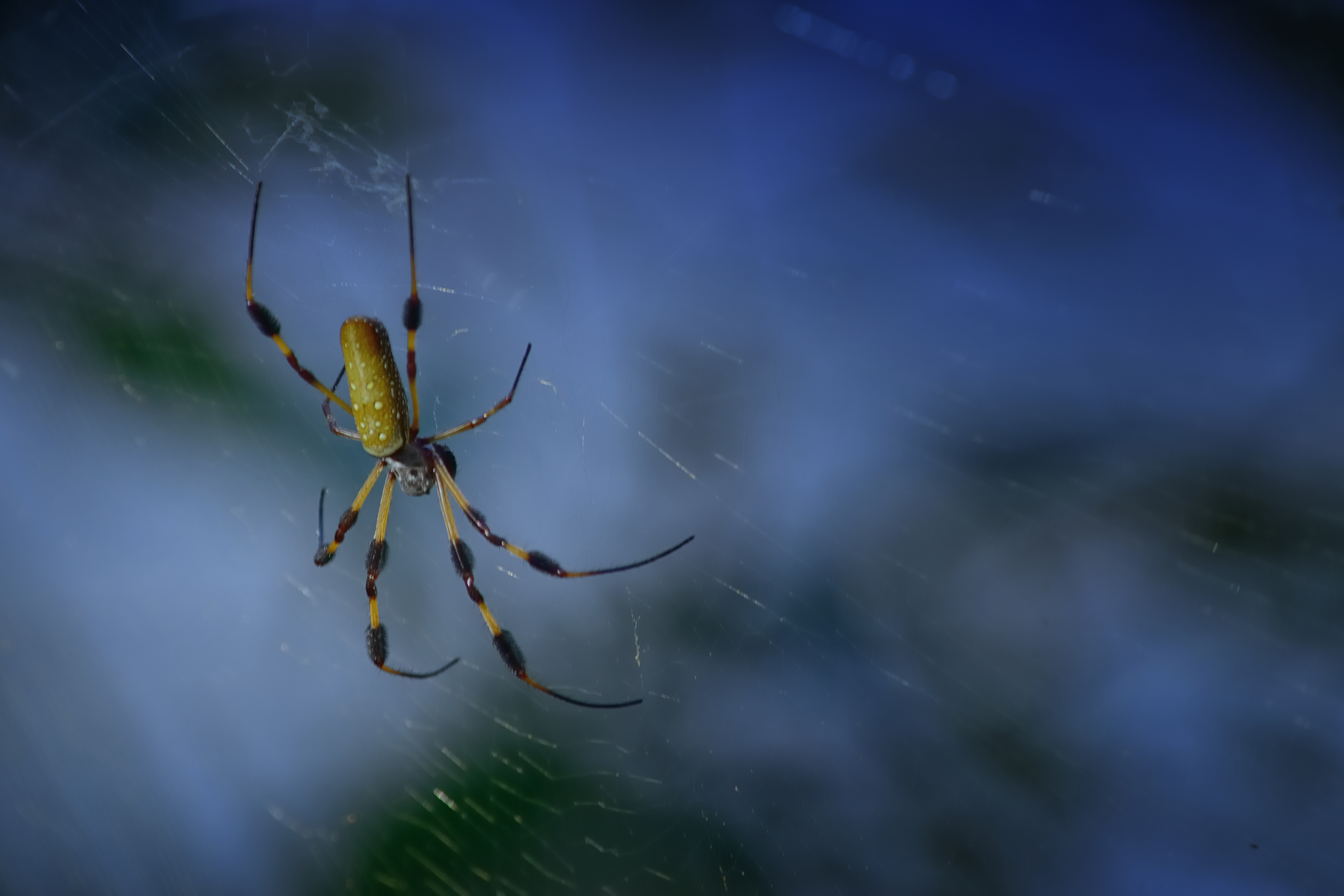 Golden Silk Orb-weaver spider - 0107