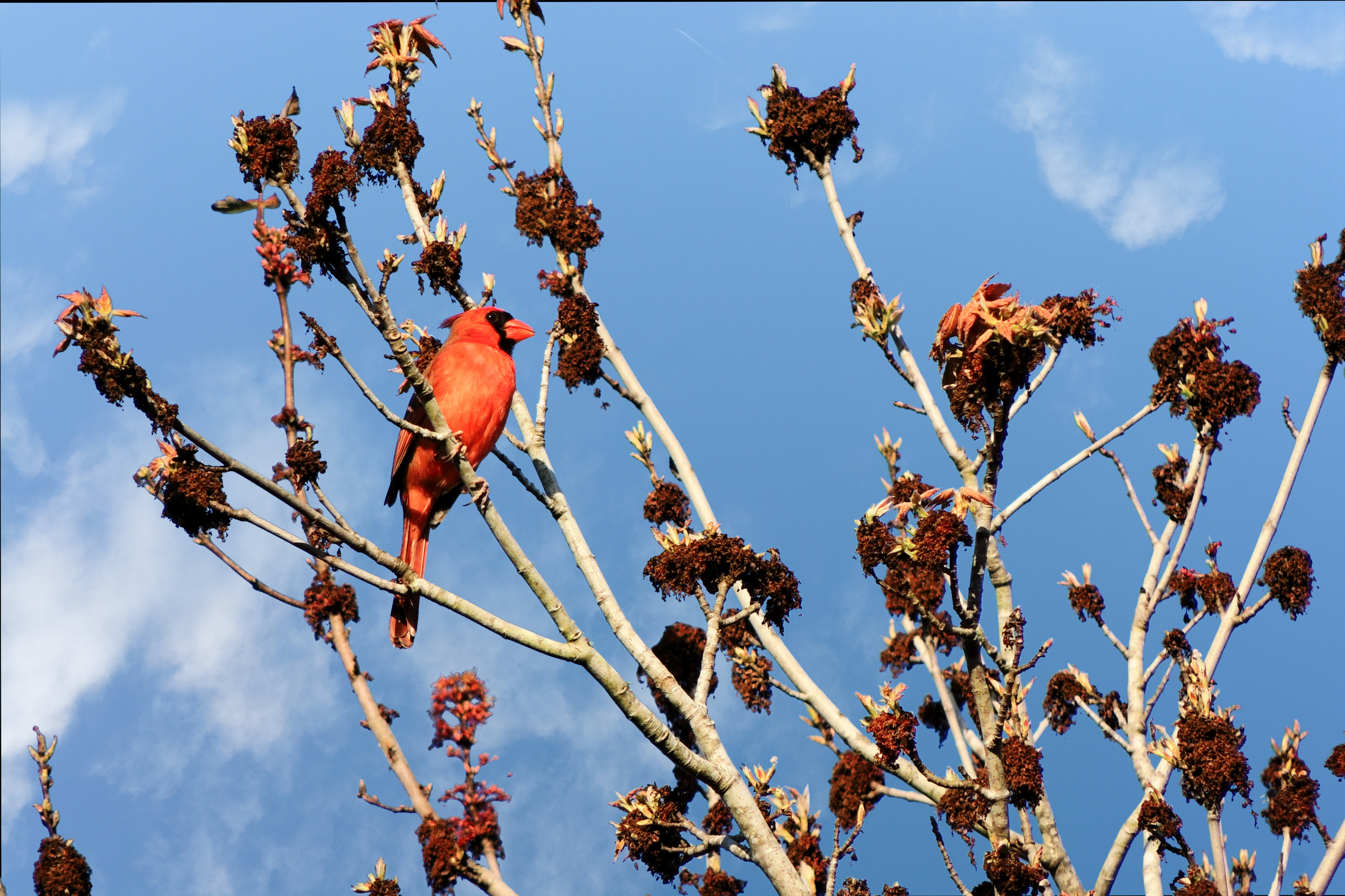 Red Cardinal against a blue sky - 4006