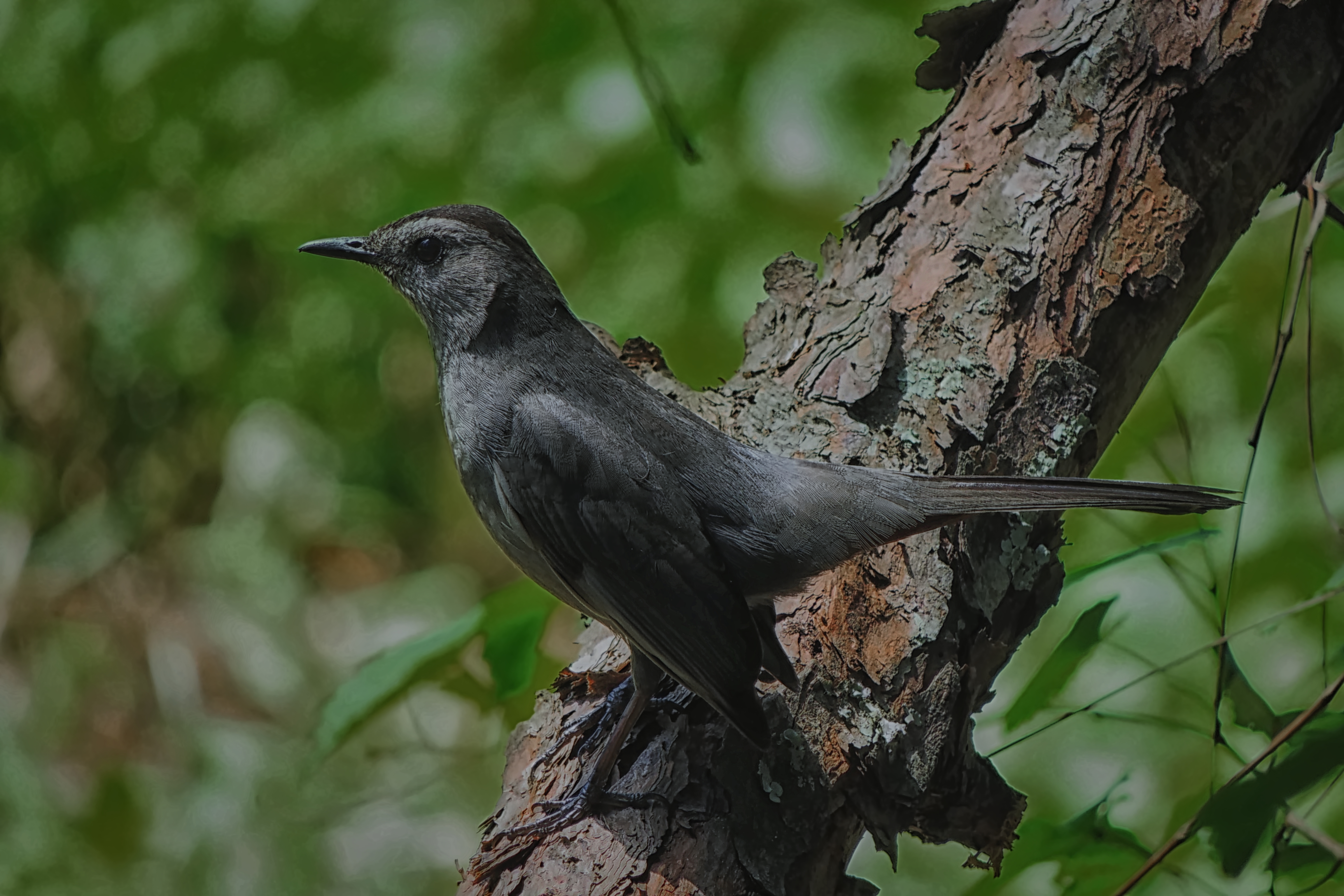 Gray Catbird on a pine log - 7106
