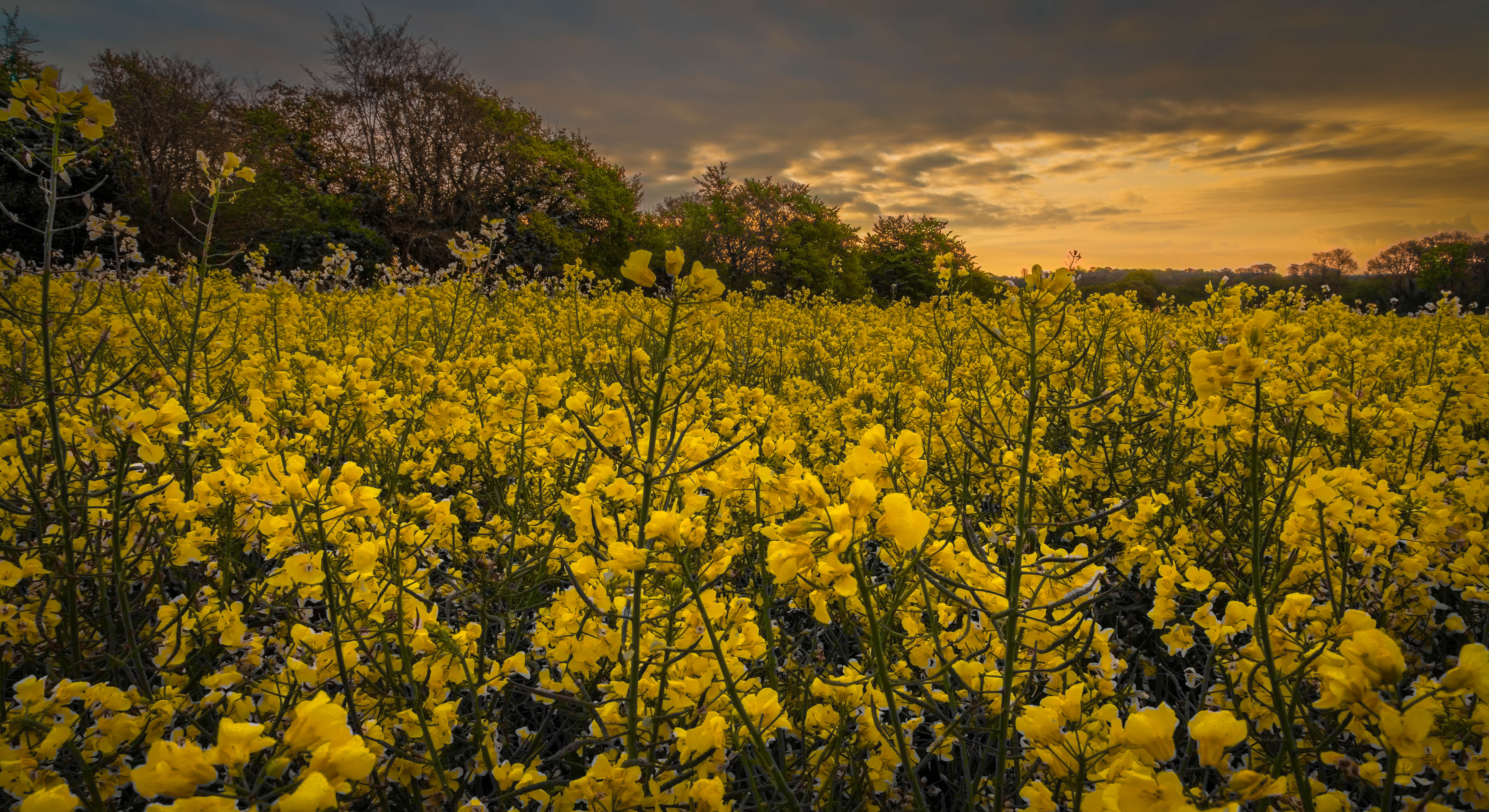 A.J.Page Sunrise over rapefields